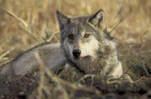 Per besibaigiantį šių metų medžioklės sezoną Lietuvoje nušauta 50 vilkų