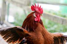 Paukščių gripas kelia pavojų ir naminiams paukščiams