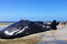 Lenkijoje į pajūrio paplūdimį bangos išmetė negyvą banginį