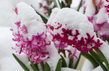 Orai: laukiame pavasarinių žiedų, o užgrius sniegas ir šlapdriba