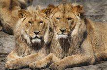 Iš Leipcigo zoologijos sodo naktį pabėgę du liūtai sugauti