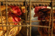 Paukščių gripo protrūkiai Europoje atneša vis daugiau nuostolių