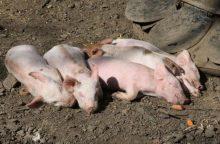 AKM toliau plinta kiaulių ūkiuose