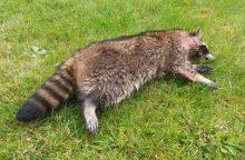 Lietuvoje atsiranda ypač grėsmingų žinduolių