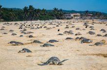 Paplūdimiuose – daugiau nei šimtas negyvų retos rūšies jūrinių vėžlių