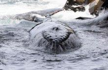 Į krantą išplauto banginio skrandyje rasta 40 kilogramų plastiko atliekų