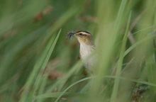 Žuvinte padidės globaliai nykstančio paukščio populiacija