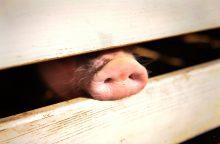 Indijoje nuo kiaulių gripo mirė 40 žmonių