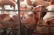 Įvardino, kokio dydžio parama siūloma smulkiems kiaulių augintojams
