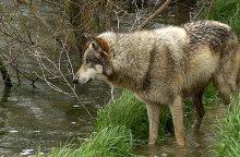 Gyventojams baimę kelia vilkai