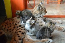 Lūšis ugdo kačiukus