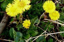 Kas tai – augalinė terapija?