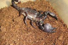 Lietuvos zoologijos sode apsigyveno itin draugiškas skorpionas