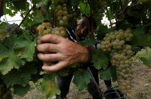 Gruzija praneša apie beveik perpus mažesnį vynuogių derlių