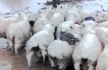 Triušiai nuo potvynio gelbėjosi ant avių nugarų