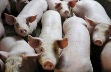Rusija kiaulienos importo draudimą perkels į politinį lygį