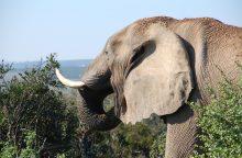 Vaidmenimis kine išgarsėjęs dramblys nužudė savo šeimininką