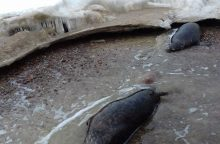 Baltijos jūros pakrantėje rasti du negyvi ruoniai