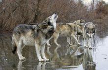 Vilkų medžioklės sezonas – jau nutrauktas