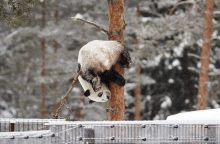 Kinų dovana suomiams šimtmečio proga – pandos