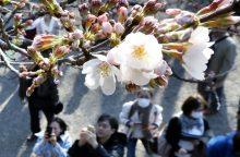 Tokijuje pražydo sakuros