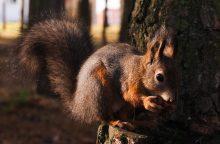 Ąžuolyno parko voverės nebadaus
