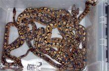 Į lėktuvą – su 247 gyvatėmis