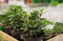 Visus metus žaliuojantis prieskoninių žolelių daržas: kas populiariausia?